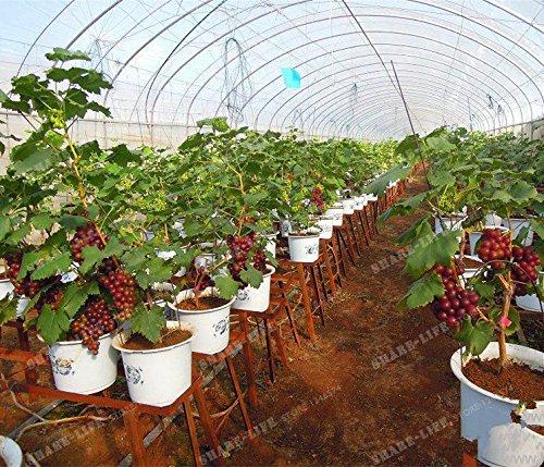 50 Seeds Miniature Grape Vine Seeds Vitis vinifera Organic Fruit Seeds Succulent Plants 17#32789145268ST