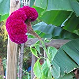 *Giant COCKSCOMB-BLOOD RED*Showy* 100 seeds*RARE* #1023