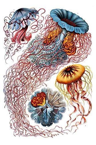 Jellyfish Costume Using Umbrella (Ernst Haeckel Discomedusae Jellyfish Umbrella Shaped Free Swimming Marine Life Nature Poster 12x18)