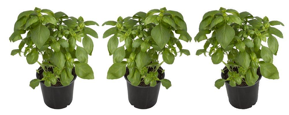 Seville Farms HB005 Basil Trio Herbs Live Plant, 1.00 Pint, Green