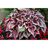 30 pcs / bag,Begonia seeds, potted seed, flower seed, variety complete, the budding rate 95%, (Mixed colors)