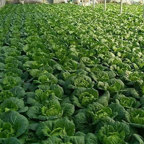 Graines de chou blanc 1000 h/éritage g/éant sans OGM jardin v/ég/étal vert organique chinois cuisine floraison chou pour plantation porte ext/érieure pour plat de cuisson soupe go/ût bon bon d/élicieux