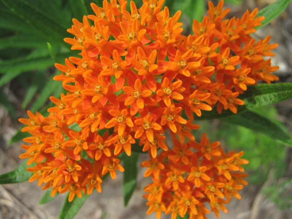 Amazon 30 Orange Glory Butterfly Weed Milkweed Asclepias