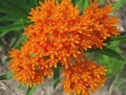 Amazon 30 orange glory butterfly weed milkweed asclepias 30 orange glory butterfly weed milkweed asclepias tuberosa flower seeds mightylinksfo