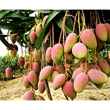 1bag=2pcs GIANT MANGO TREE seeds rare HERB exotic delicious fruits seeds mini potted cherry bonsai home & garden free shipping