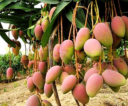1bag=2pcs GIANT MANGO TREE seeds rare HERB exotic delicious fruits seeds mini potted cherry bonsai home & garden