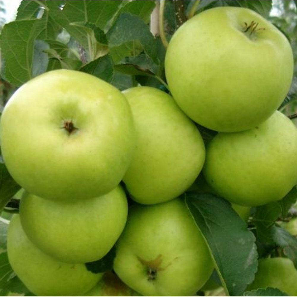 Cooking apple trees, 3 different named dwarf trees' for pots, or small gardens -