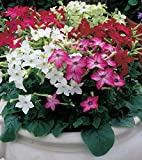 """Organic Flower seeds Scented Tobacco """"Mix"""" (Nicotiana alata) - 3000 Seeds."""