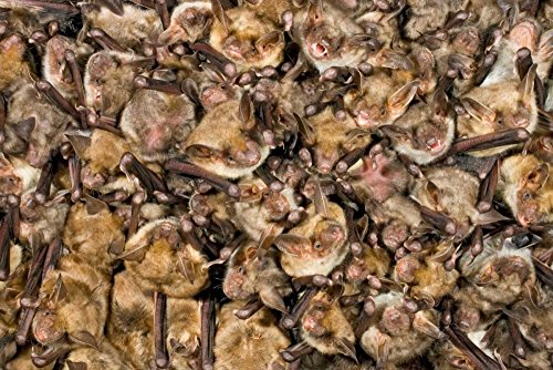 Greater Mouse-Eared Bat colony Germany Poster Print by Ingo Arndt (24 x 36)