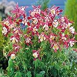 Aquilegia caerulea Crimson Star - 3 plants