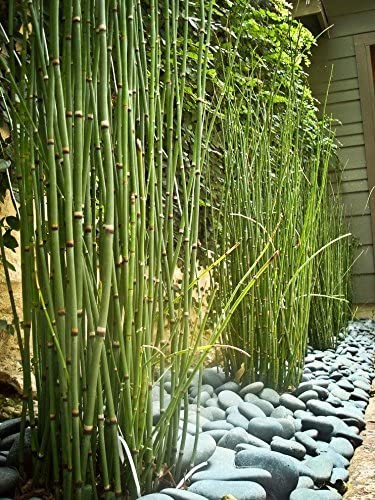 Amazon Com 10 X Horsetail Plants For Koi Pond Bamboo Looking Exot