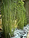 15 x Horsetail Reed Bamboo Looking Zen Garden