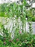 40 - 50 GIANT REED GRASS SEEDS ( Arundo donax ) 16 = 30 feet tall