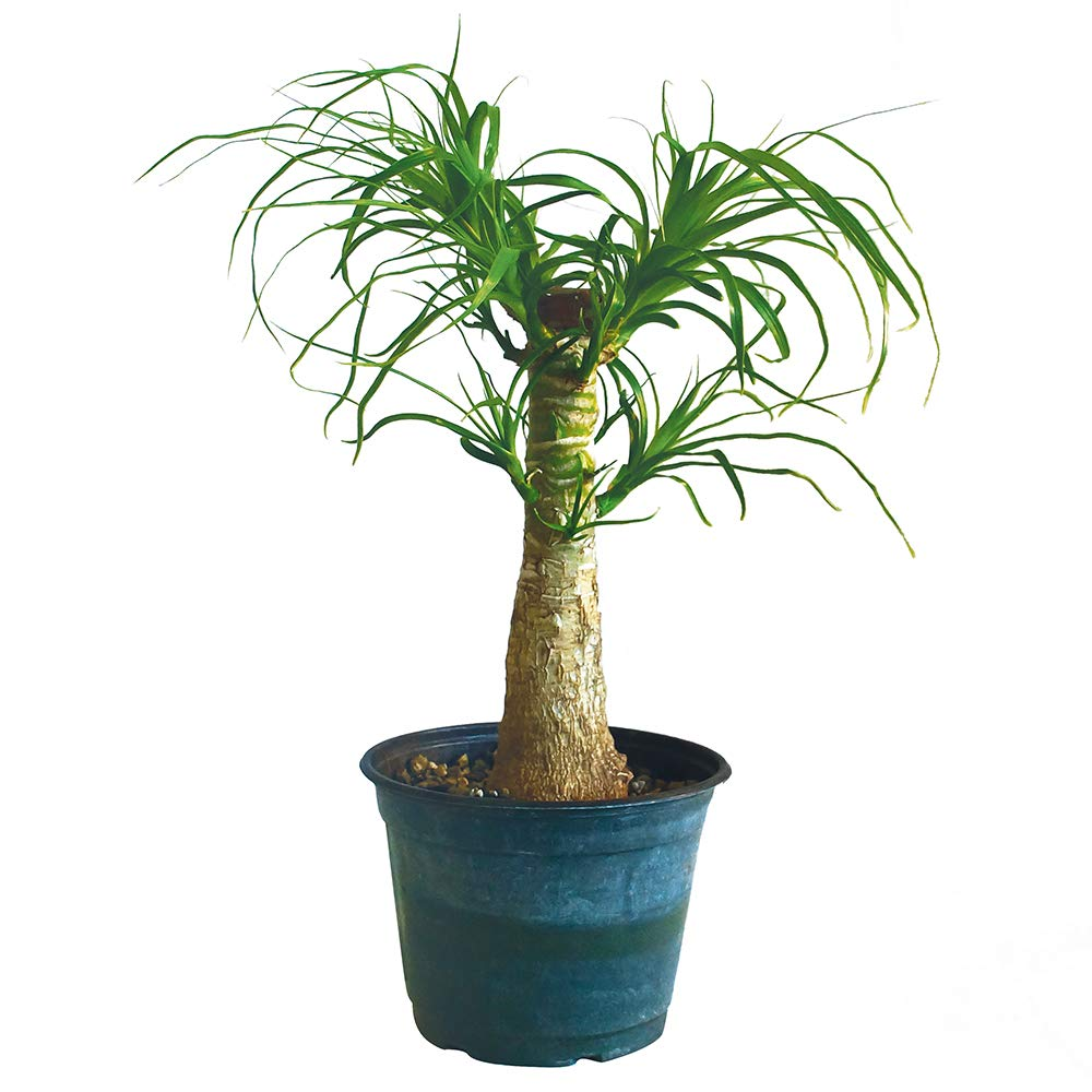 Brussel's Bonsai Brussel's Live Guatemalan Red Ponytail Palm with 6'' Plastic Pot Medium