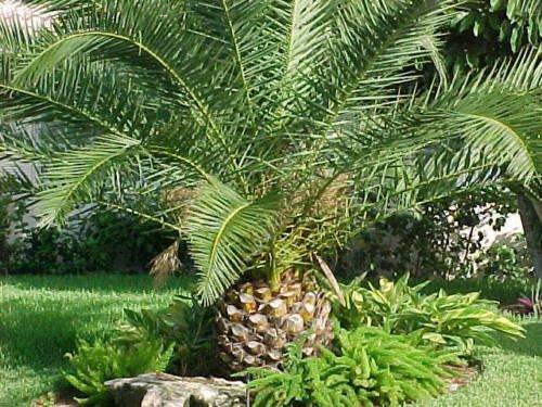 Canary Island Palms, Pineapple Palm Tree, Phoenix Canariensis (15 Seeds) (030)