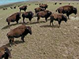 Blackfeet and Bison