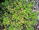 Wedding Ring Boxwood - Buxus - Evergreen - Proven Winners