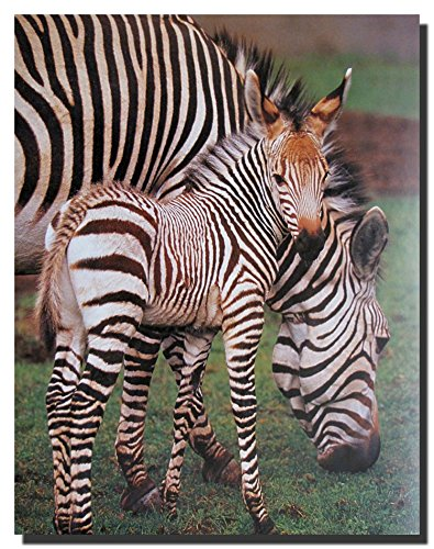 Zebra Wall Decor Wildlife Animal Art Print Poster (16x20)