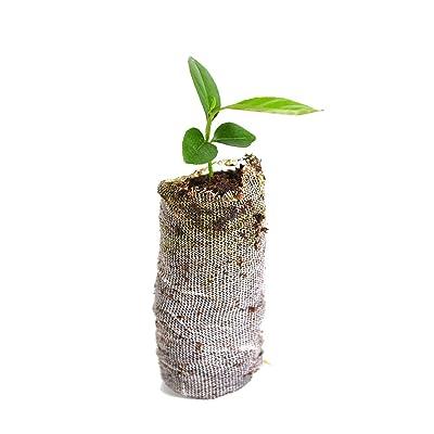 Tree Key Lime x Aurantiifolia Starter Plug Garden Tree Fruit : Garden & Outdoor
