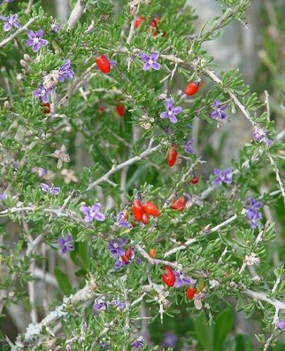 - Lycium Carolinianum, Florida Native Tree Christmas Berry Bonsai Seed 50 Seeds