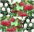 (5) European Highbush CRANBERRY Fruit Seeds - Viburnum opulus