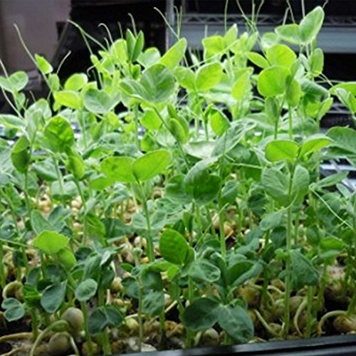 - Speckled Pea Sprouting Seeds - 1 Lbs - Certified Organic, Non-GMO Green Pea Sprout Seeds - Sprouts & Microgreens