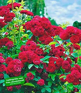 BALDUR-Garten Rambler-Rosen \'Chevy Chase\', 1 Pflanze Kletterrose ...
