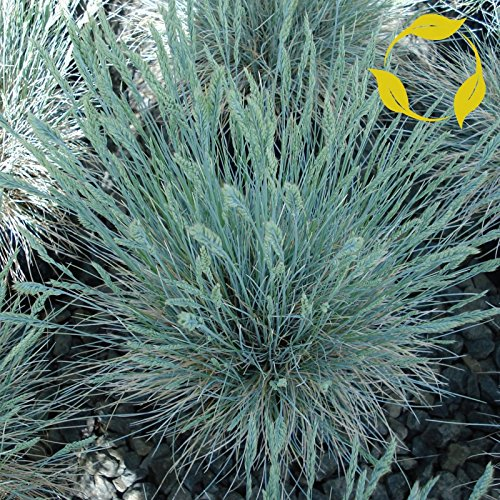 - BLUE SHEEP FESCUE Festuca Ovina Glauca 10,50,100,200,500 SEEDS