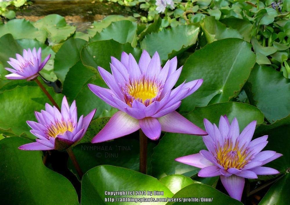Tropical Water Lily Bundle - 3 Pre-Grown Rhizomes in White, Red, and Purple by AquaLeaf Aquatics (Image #2)