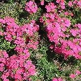Verbena Rose Ground Cover Seeds (Verbena Hybrids Nana Compacta) (200)