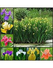 perennes Resistentes para balcón,Flores Semillas Planta Bonsai,Semillas de Calamus Amarillo, Planta Ornamental de Flores acuáticas-1kg