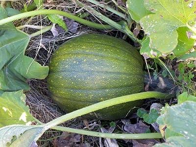 Winter Squash, Green Hubbard Squash Seeds