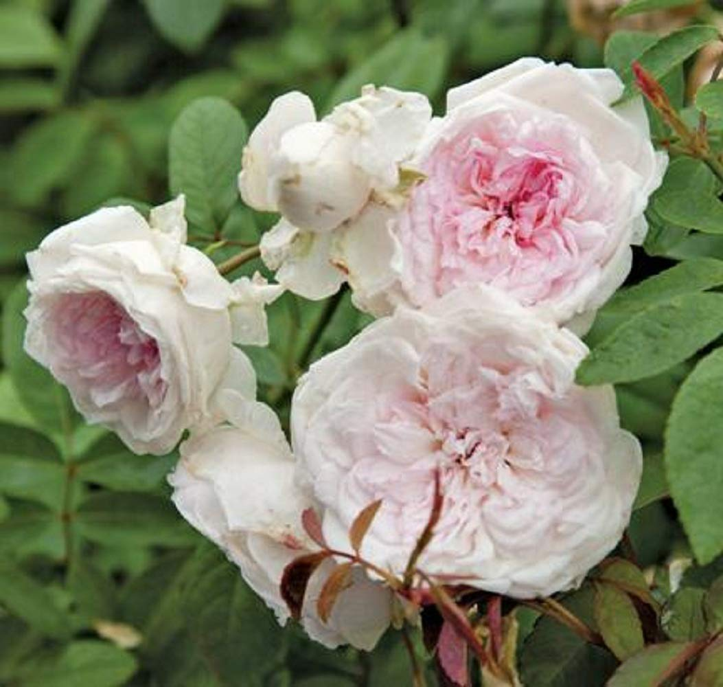 Clotilde Soupert Own Root Heirloom Old Garden Rose Plant White Pink Fragrant Home Garden
