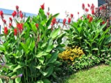 #1061--10' to 15' ft.EXOTIC GIANT TROPICAL CANNAS... 7 seeds by ROBsRAREandGIANTseeds