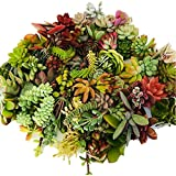 Live Succulent Cuttings 10 Assorted Varieties Beginners Succulent Plants, No 2 Cuttings Alike, Great for Terrariums…