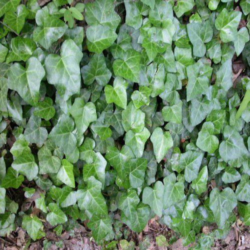 (12 Plants Classic Pint) Hedera Helix - English Ivy is Evergreen. Leaves are 2