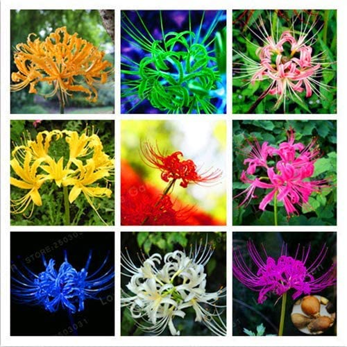 Shoopy Star 2pcs: 2-4pcs Plantas de bulbos de Licoris para el ...