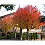 trident maple tree 10 Trident Maple Tree Seeds - Acer Buergerianum