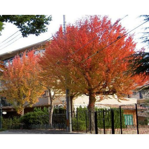 10 Trident Maple Tree Seeds - Acer Buergerianum