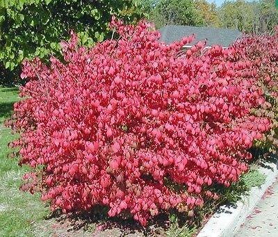 10-dwarf-burning-bush-hardy-shrub-plants-euonymus-alatus-hardy-shrub-plants