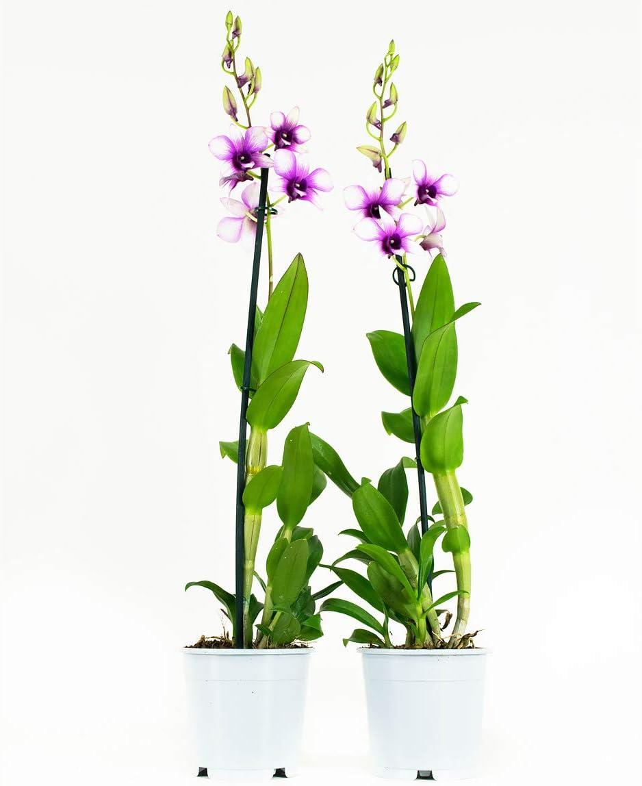 1 Trieb Orchideen von Botanicly H/öhe: 55 cm 2 /× Dendrobium Sa-Nook
