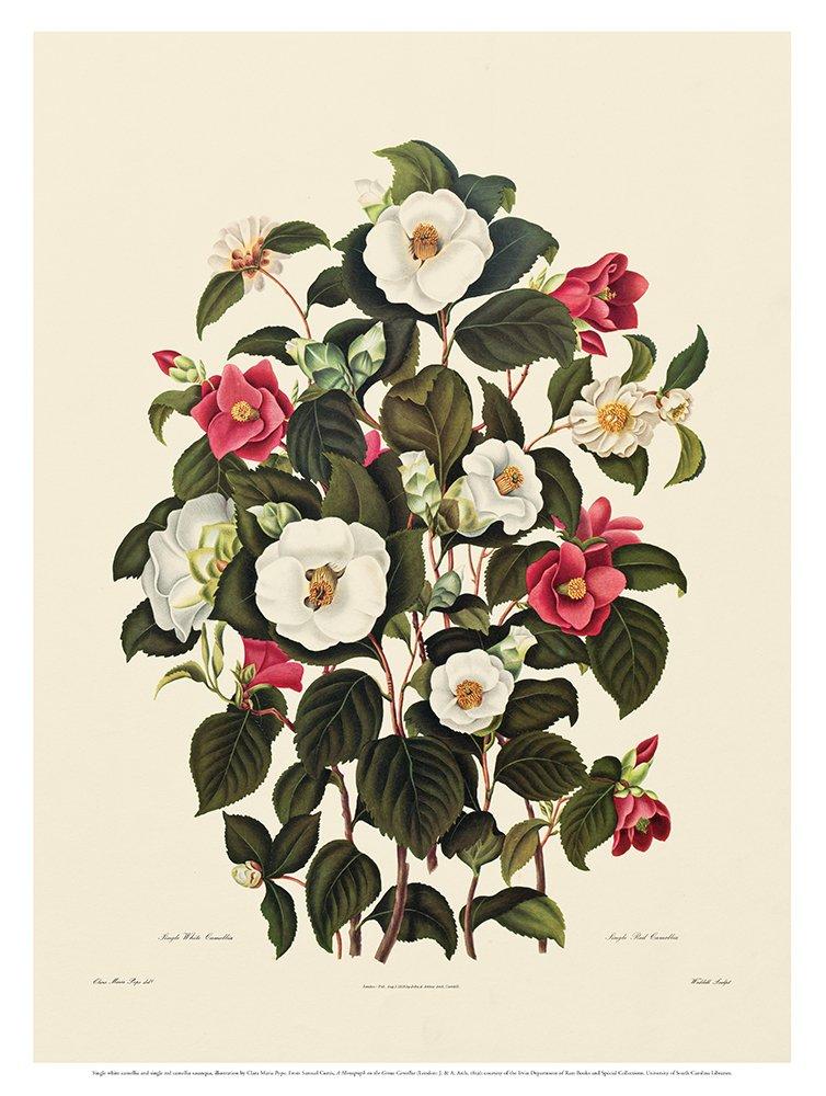 Single White Camellia, Single Red Camellia Sasanqua (Poster): From A Monograph on the Genus Camellia (1819) pdf