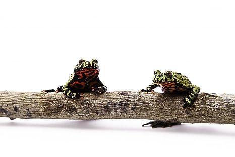 Amazon com: Wallmonkeys Fire Bellied Toads Sitting on Branch