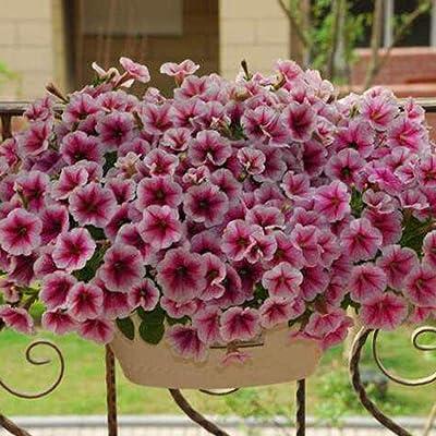 Oliote Home Garden Rare Petunia White Blue Flower Morning Glory Seeds Flowers : Garden & Outdoor