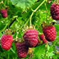 "Raspberry Plant ""Nantahala"" (Red) Includes Four (4) Plants"