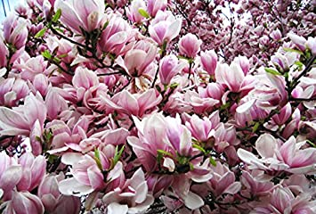 Amazon forrests pink magnolia tree seeds 35 seeds upc forrests pink magnolia tree seeds 35 seeds upc 646263361658 mightylinksfo