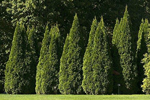 Thuja Emerald Green Arborvitae - 60 Live Plants - 2'' Pot Size - Evergreen Privacy Tree by Florida Foliage (Image #1)