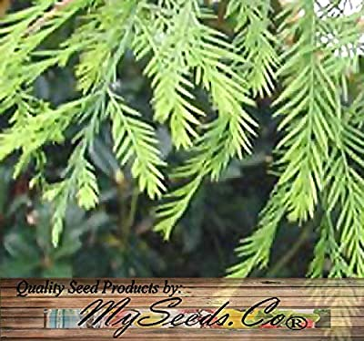 4 Packs x 10 SOUTHERN Bald Cypress, Taxodium distichum Southern, Tree Seeds AKA Swamp Cypress - Fast Growing Long Lived - FRESH SEEDS - Cold Hardy Zones 6+ - By MySeeds.Co