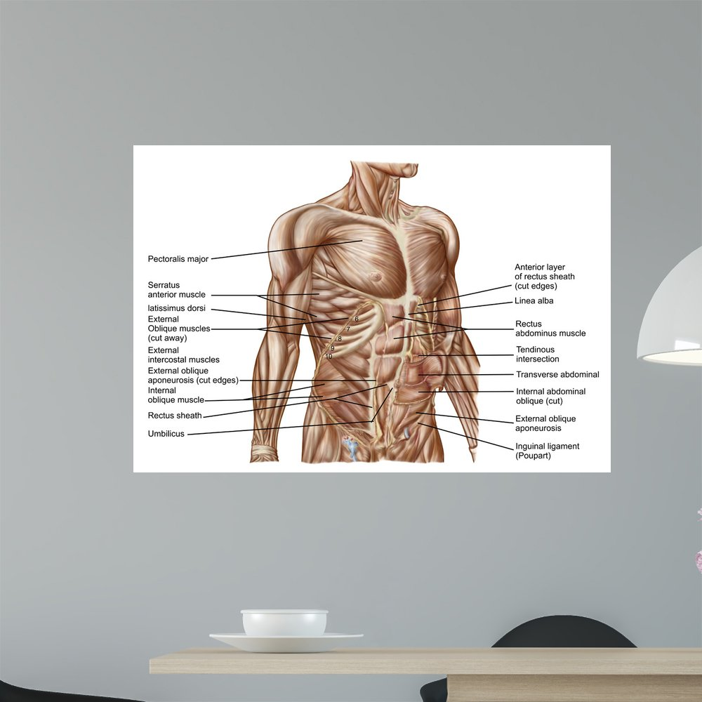 Amazon Anatomy Human Abdominal Muscles Wall Mural By