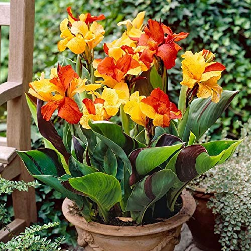 (5 Canna Cleopatra Canna Bulbs Exotic Canna Lilies Suit for Many Landscaping Situations)